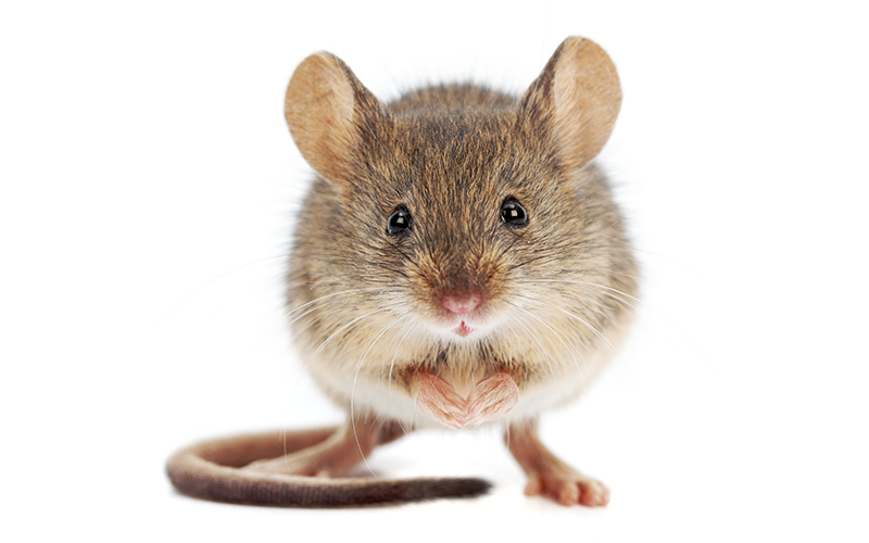 How to Naturally Get Rid of Mice with Peppermint Oil! This solution doesn't harm or kill the mice but prevents them from entering in the first place! GrandpasGoodEarth.com